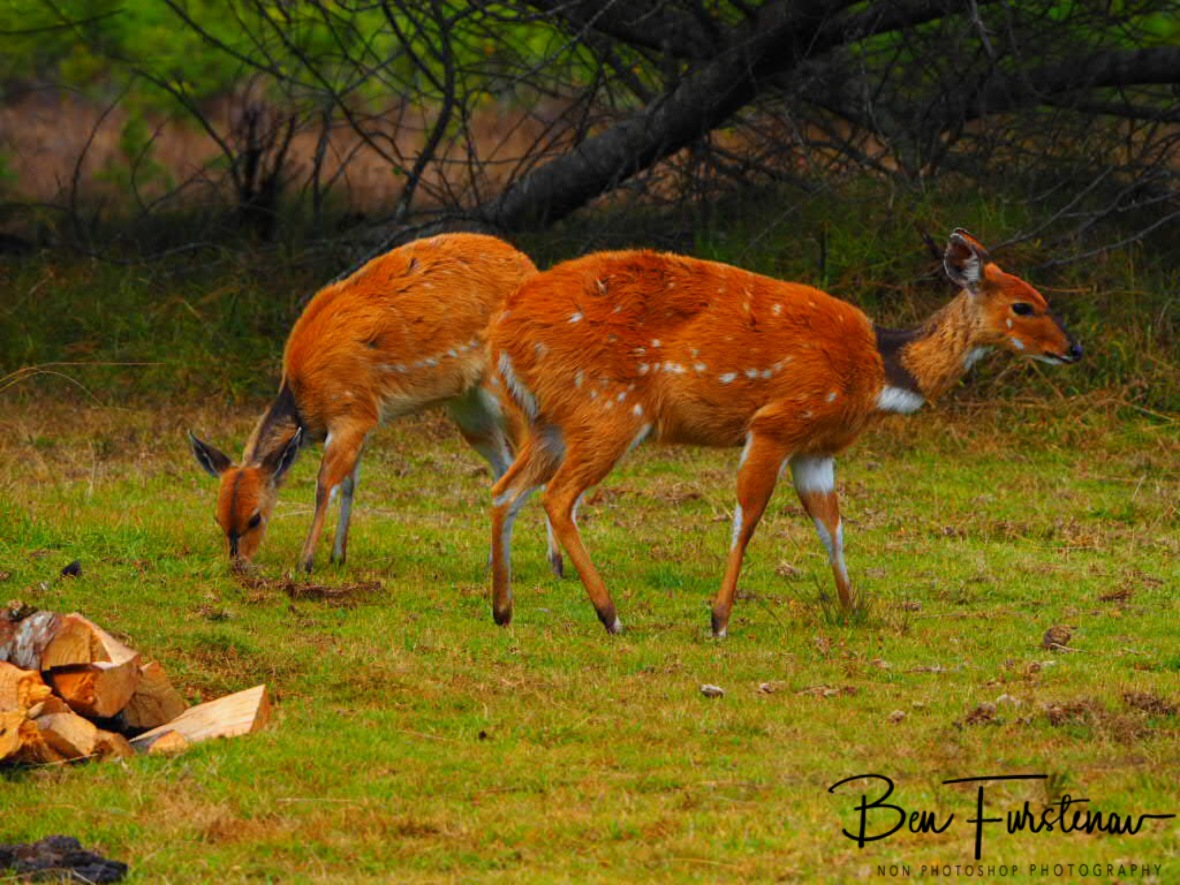 Fairly tame game, Chelinde Campground,Nyika National Park, Malawi