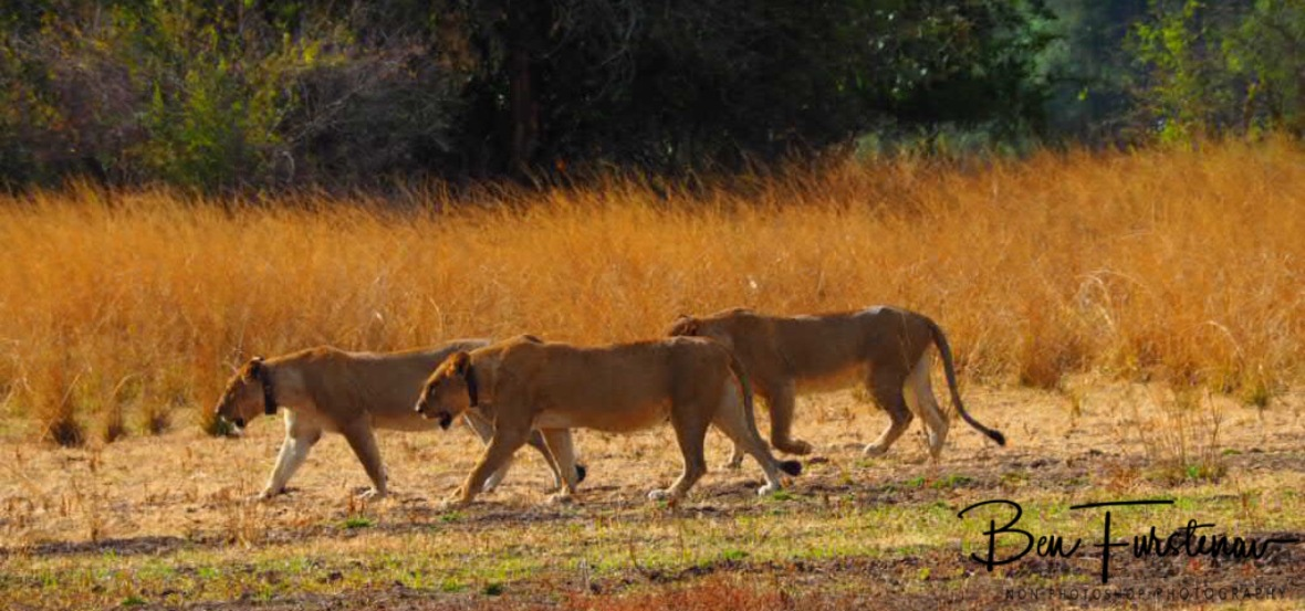 Pride and hunt leaders, South Luangwa National Park, Zambia