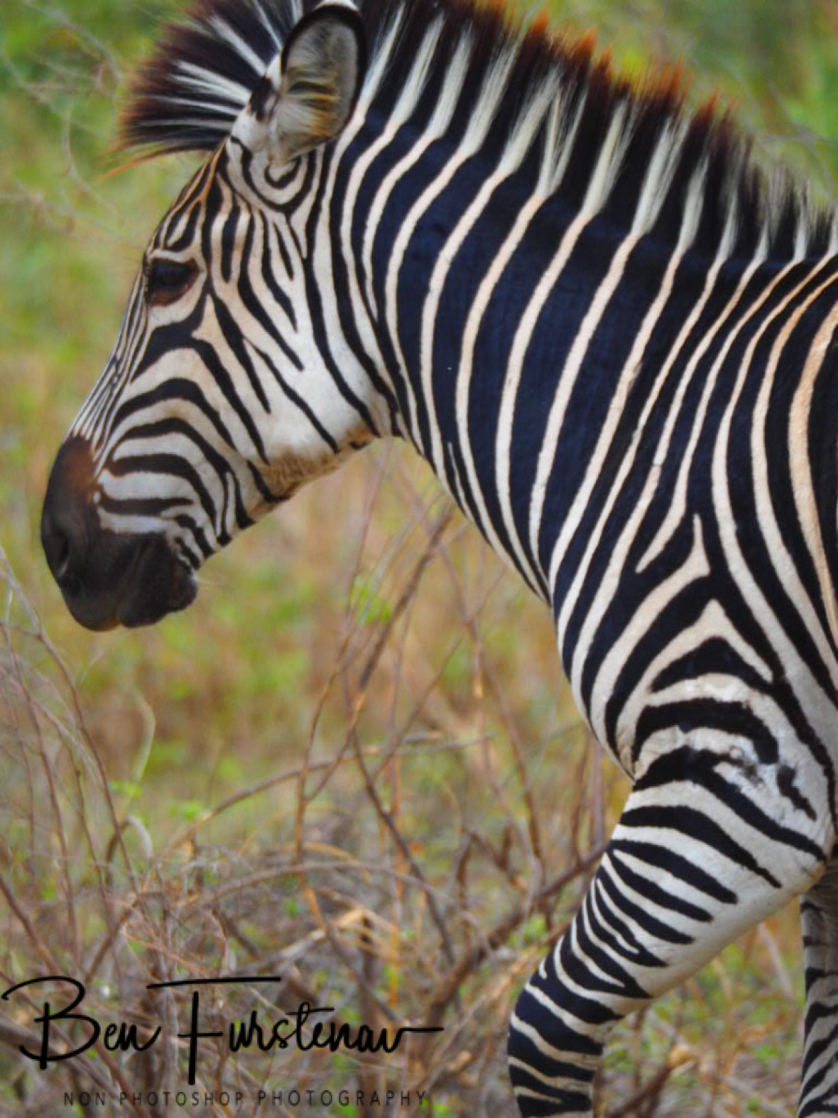 Thin stripes look almost painted, South Luangwa National Park, Zambia