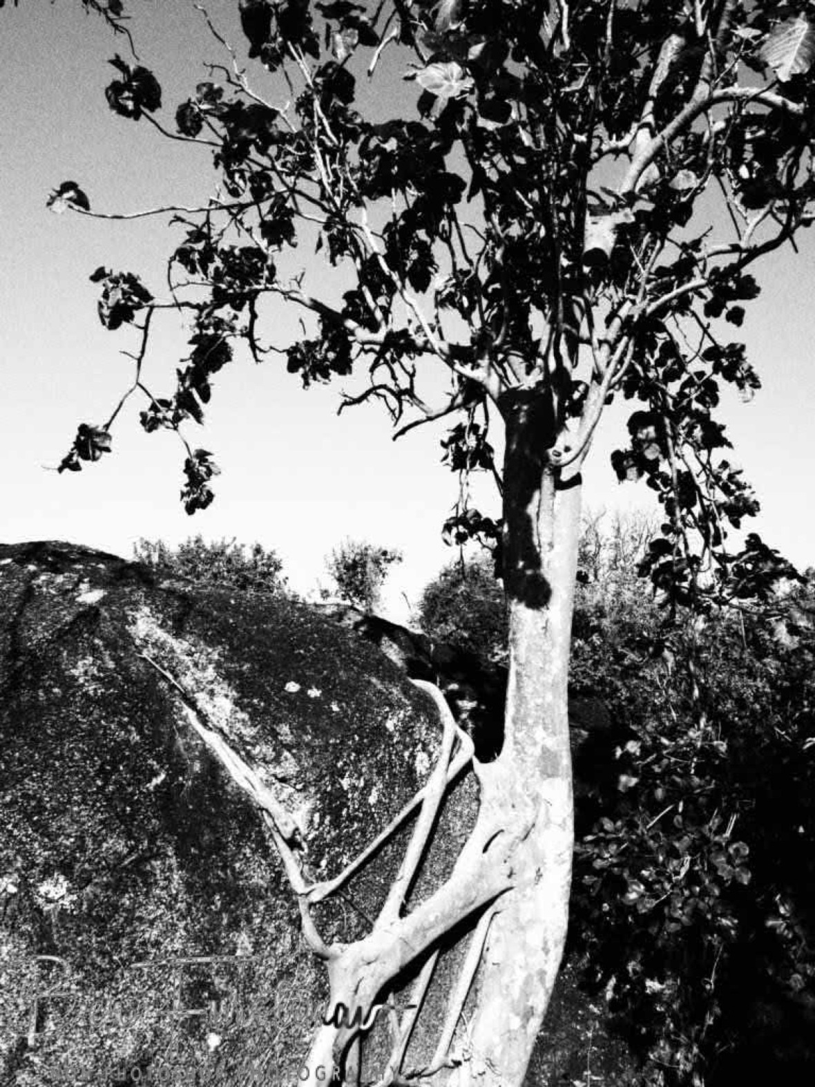 Quite astounding how trees grow on rocks at Monkey Bay, Lake Malawi, Malawi