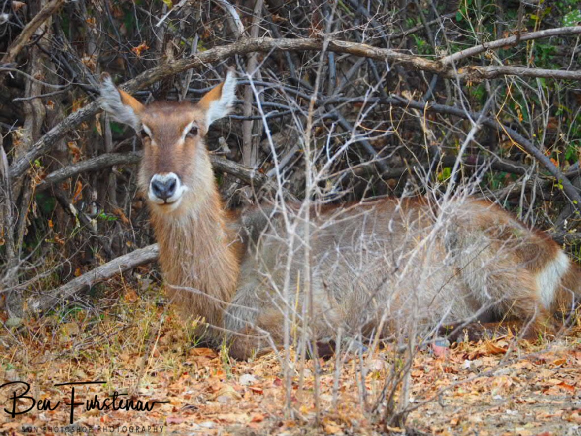 Female waterbuck resting in the thick of it, South Luangwa National Park,Zambia
