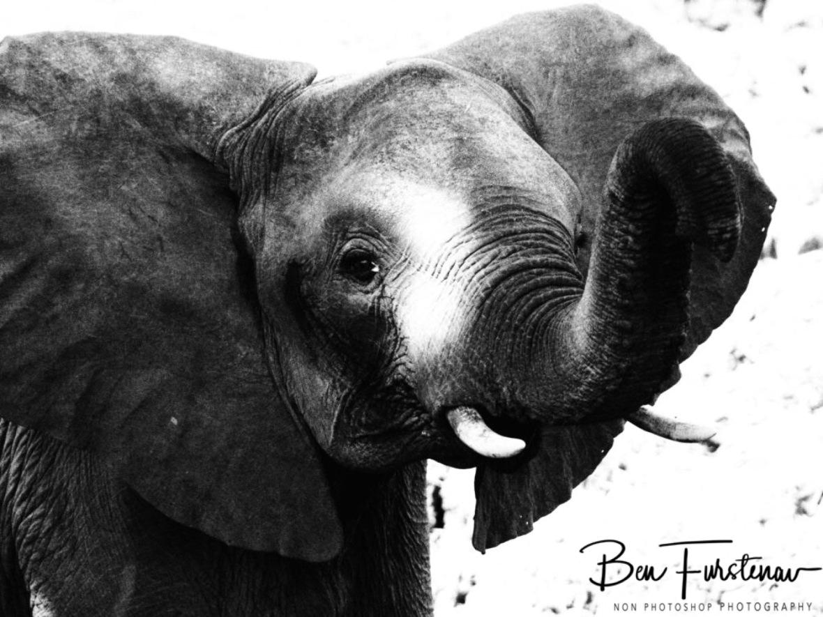 Inquisitive Nature off elephants, South Luangwa National Park, Zambia