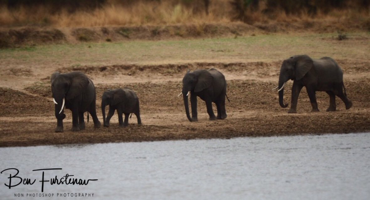Here comes the next group, South Luangwa National Park, Nsefu Sector, Zambia