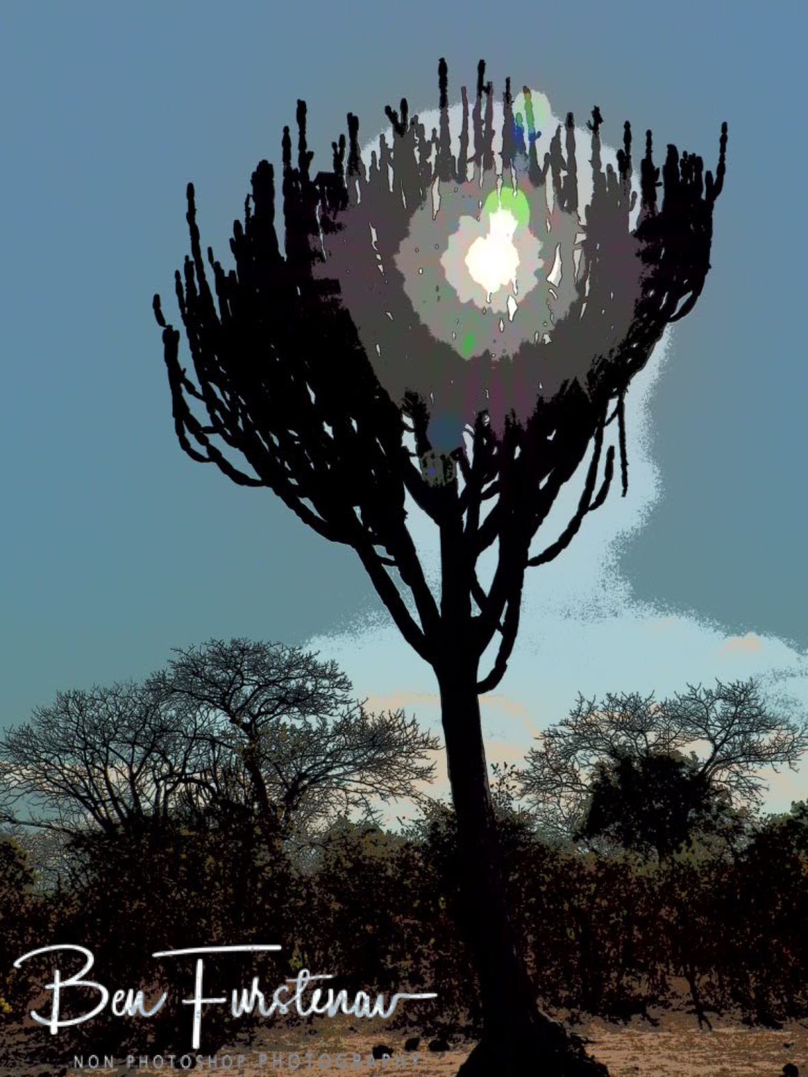 Giant cactus tree umbrella, Vwaza Marsh National Reserve, Malawi