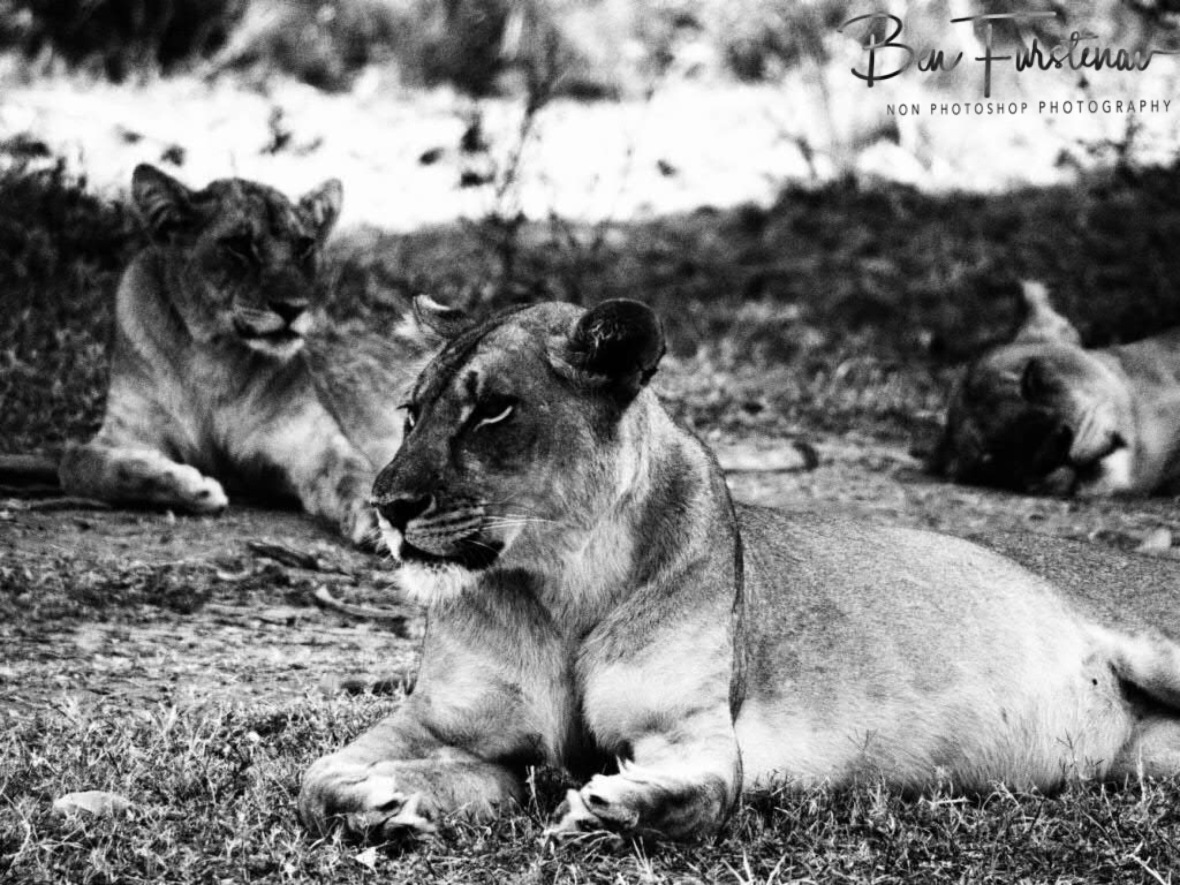 Paws up, South Luangwa National Park, Zambia