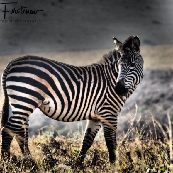 Zebra pose, Nyika National Park, Malawi