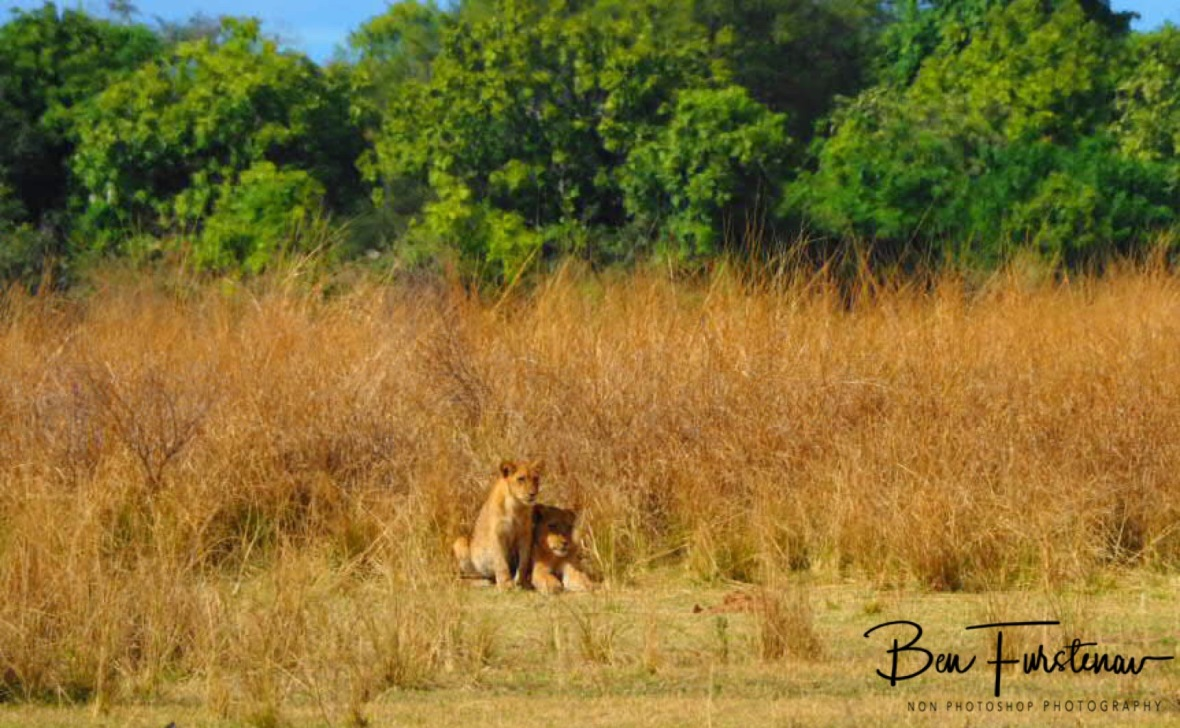 Two cubs out of the high grass, South Luangwa National Park, Zambia