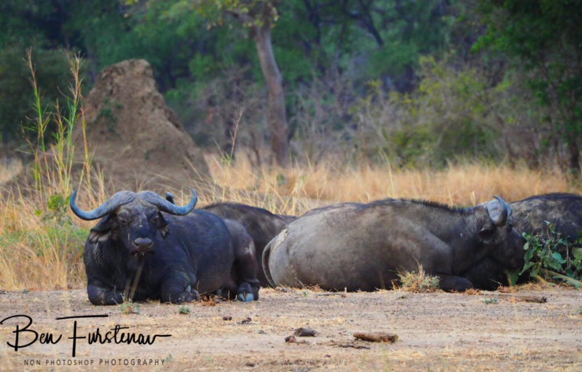 Resting and digesting in South Luangwa National Park, Zambia