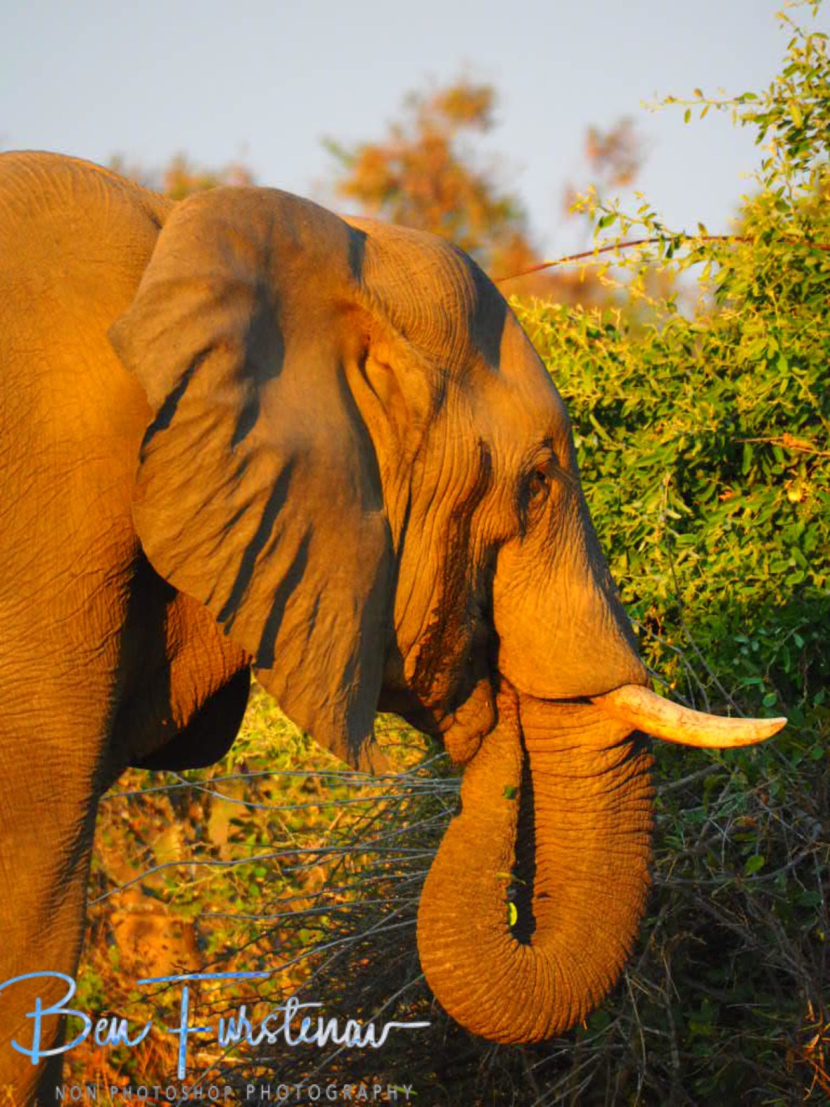 Glance behind the eyes signals musth, Lower Zambezi National Park, Zambia