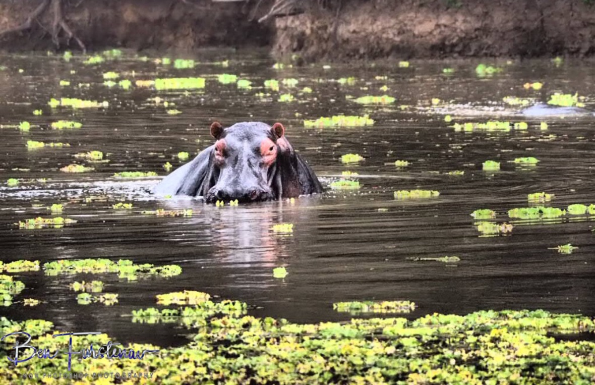 Hippo keeping a good eye out on the neighbours, South Luangwa National Park, Zambia