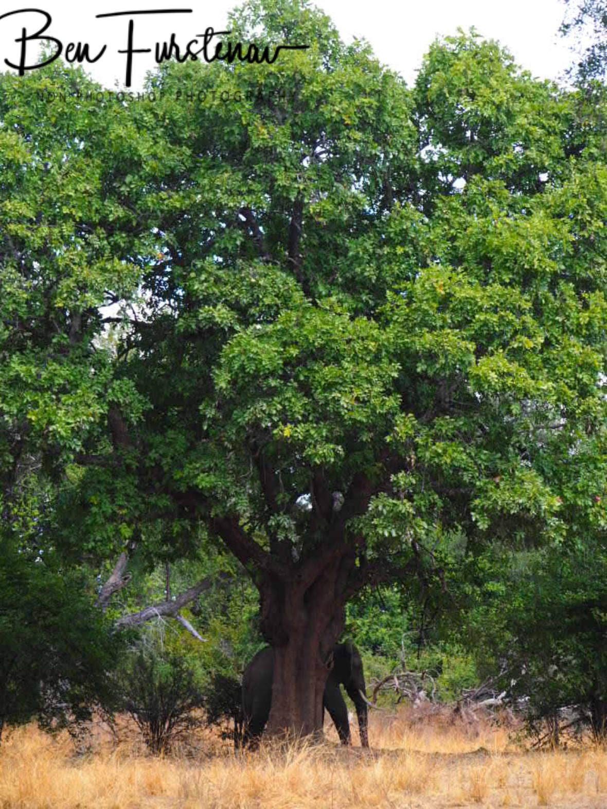 Shady tree in South Luangwa National Park, Zambia