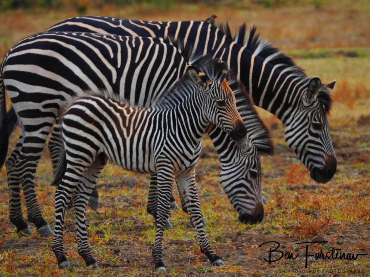 Happy zebra family in South Luangwa National Park, Zambia