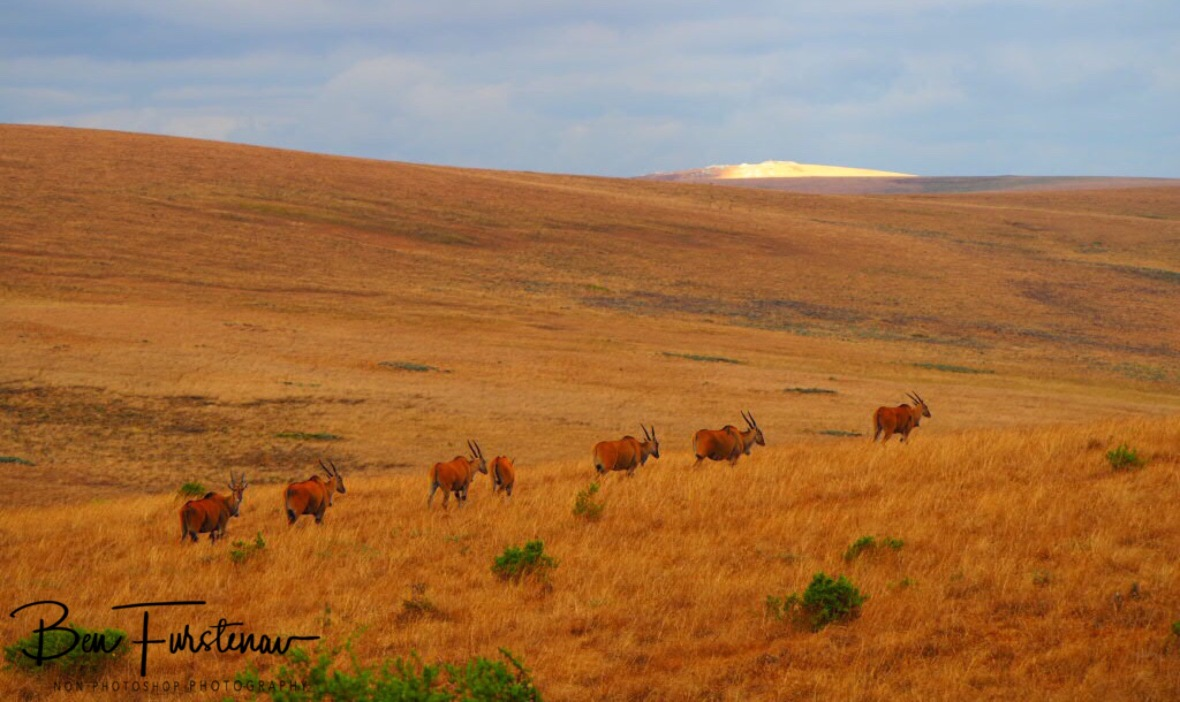 Eland caravan over Nyika Plateau, Malawi