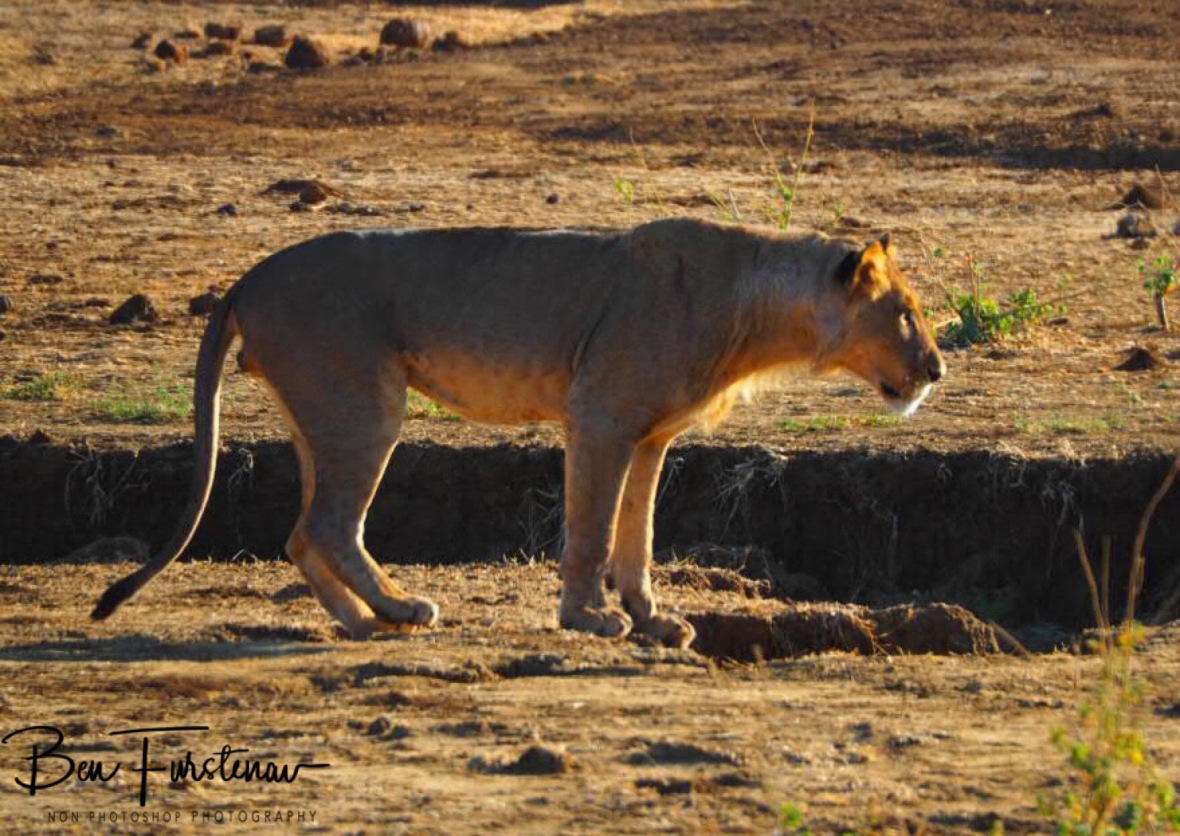 Lion on the prowl, Lower Zambezi National Park, Zambia