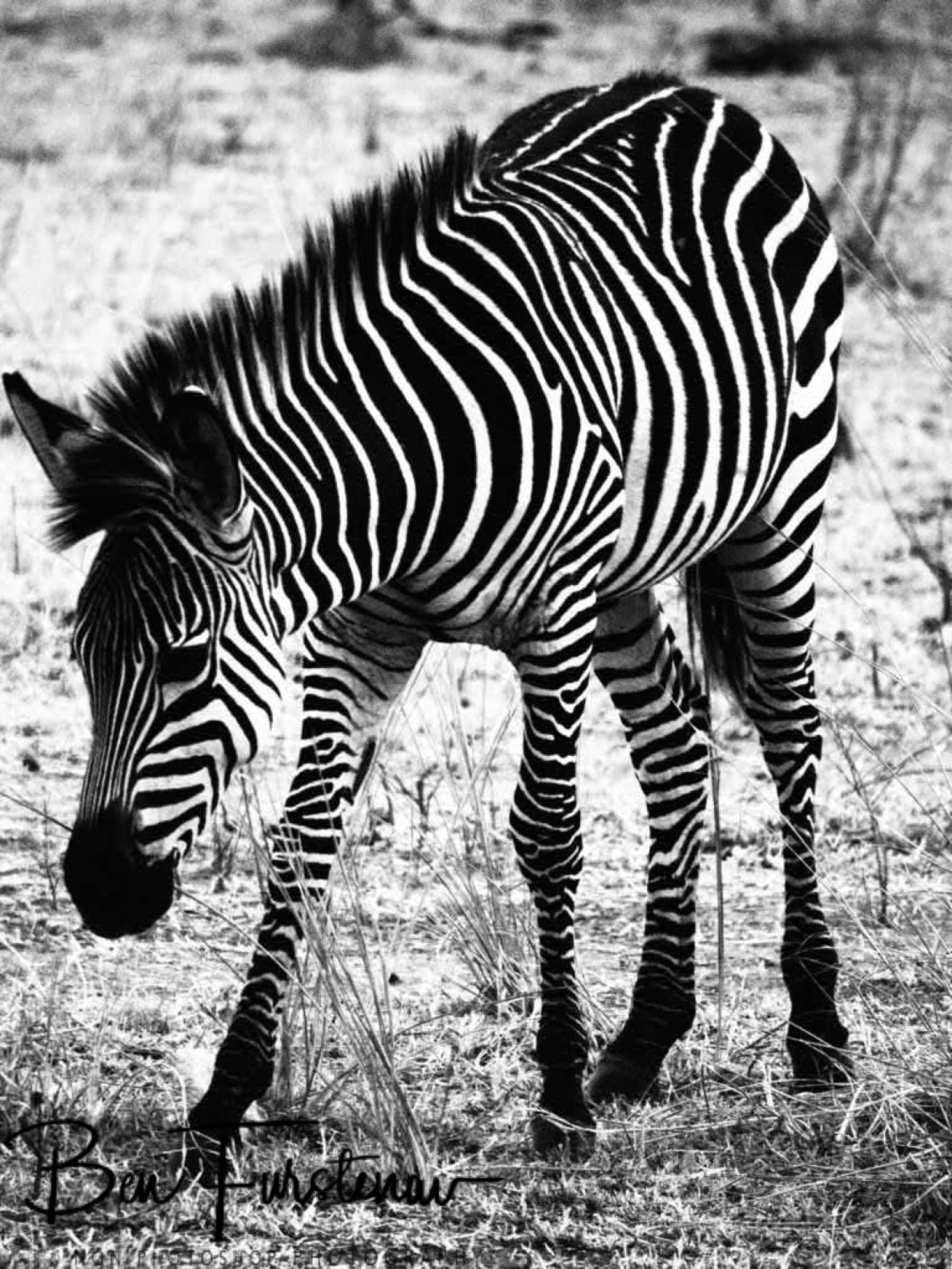 Zebra fowl in black and white, South Luangwa National Park, Zambia