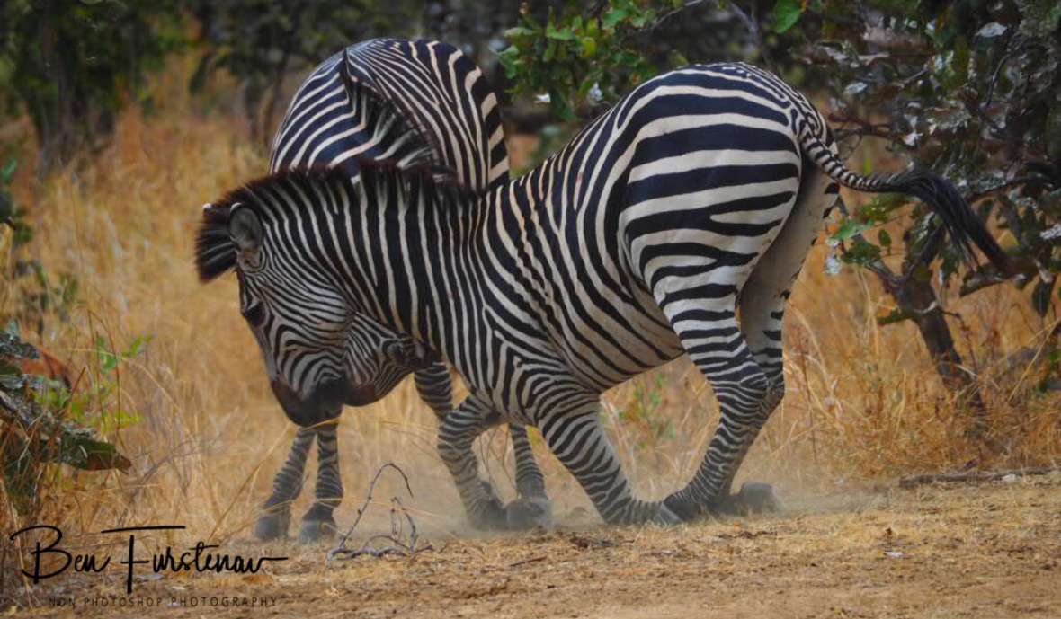 Still wiggling his way out, South Luangwa National Park, Zambia