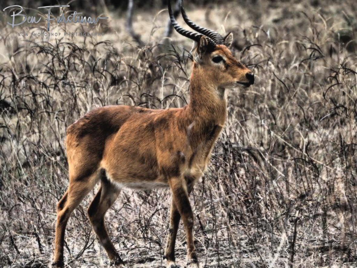 Puku buck, South Luangwa National Park, Zambia