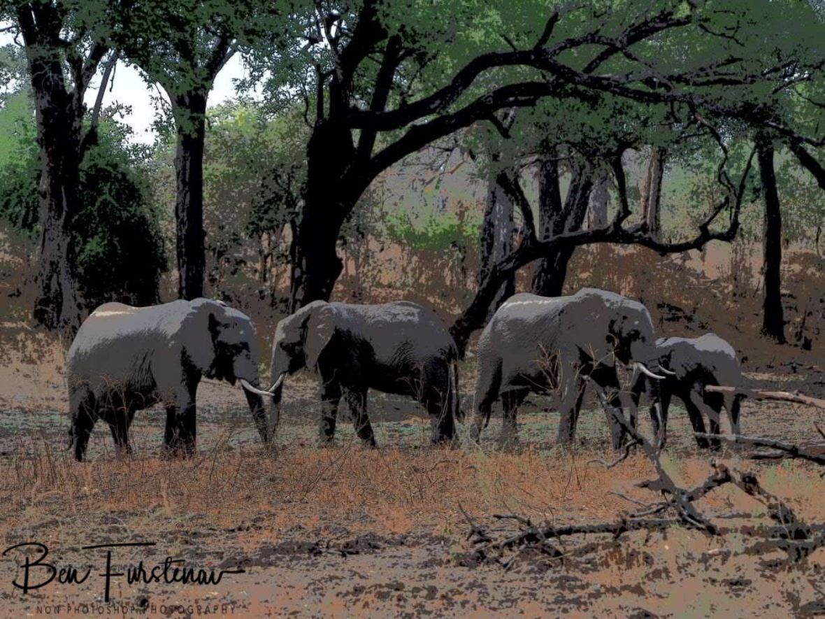 Small group off elephants foraging a dry riverbed, South Luangwa National Park, Zambia