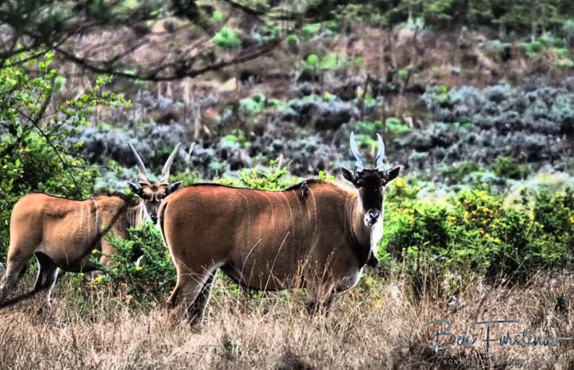 Extremely cautious Eland Antilope, Nyika National Park, Malawi