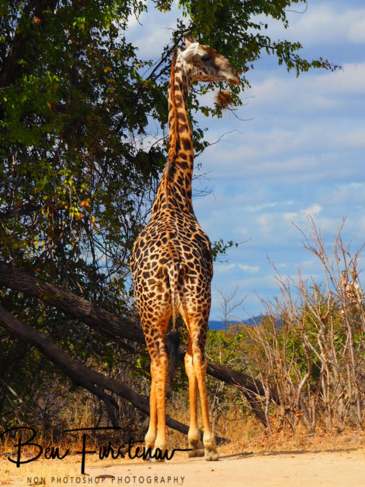 Tall and elegant, South Luangwa National Park, Zambia