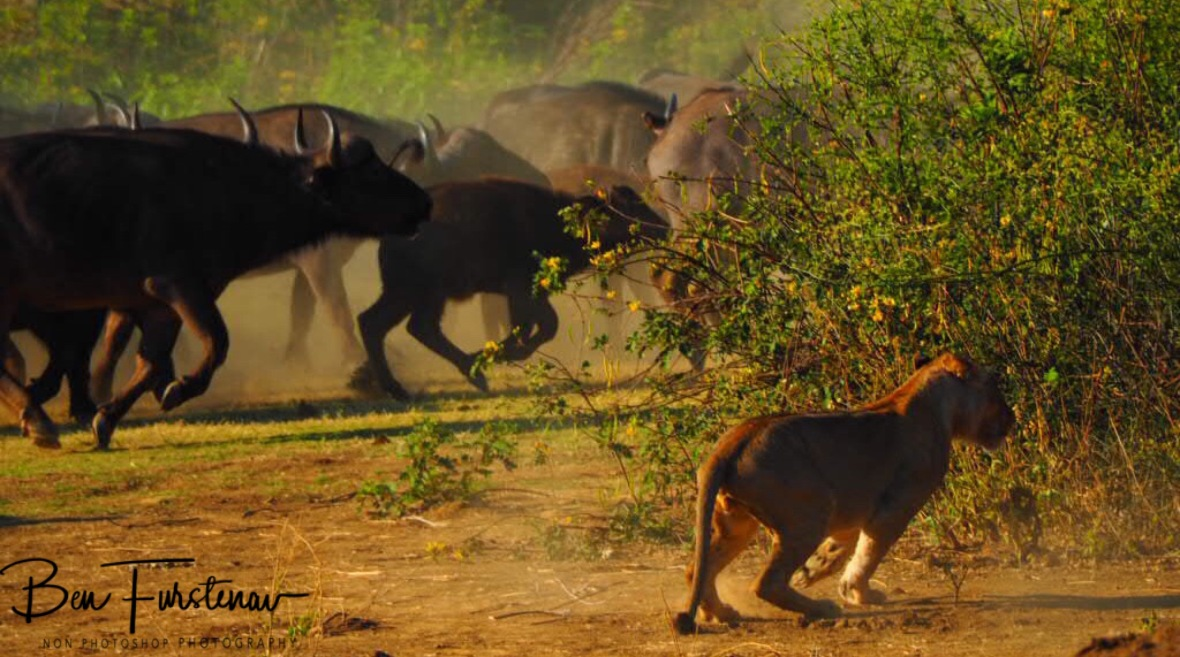 Creating havoc amongst the buffalo, Lower Zambezi National Park, Zambia