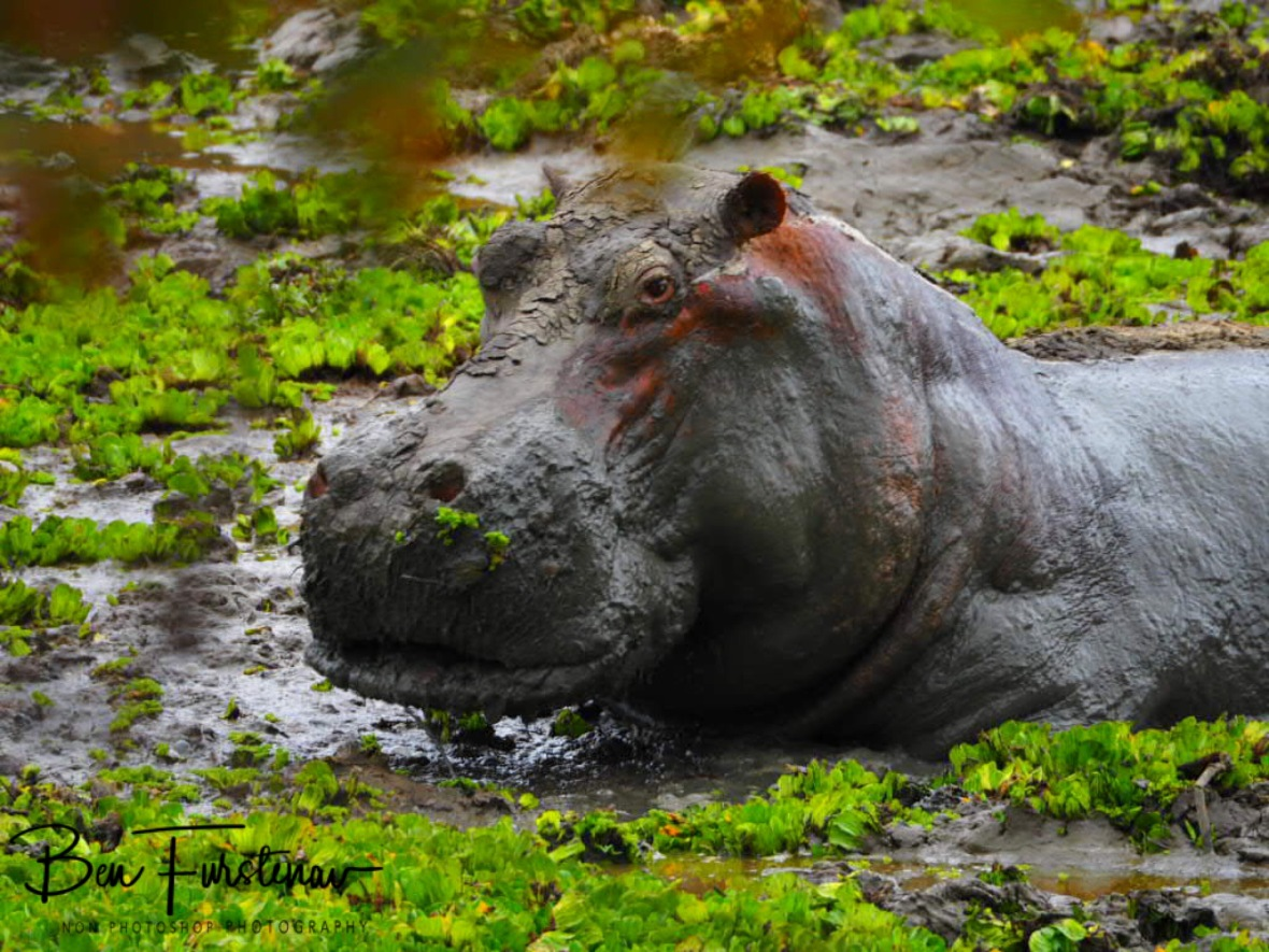 Who's disturbing my mud bath?, South Luangwa National Park, Nsefu Sector