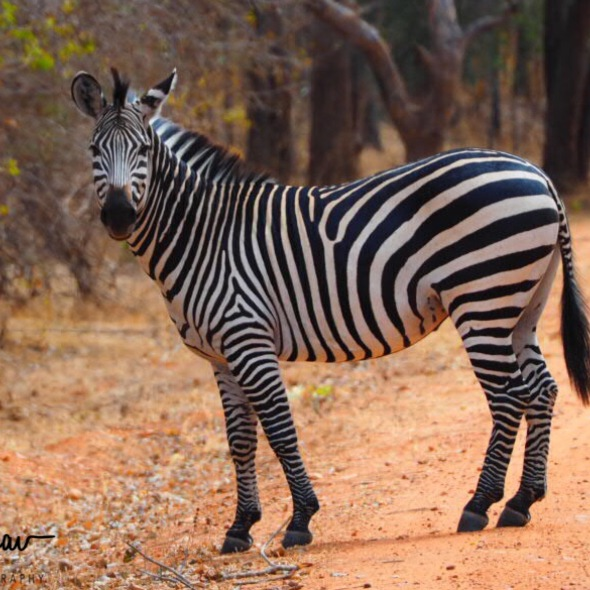 Checking if no more zebras crossing the road, South Luangwa National Park, Zambia