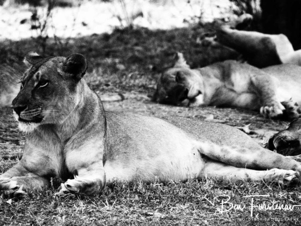 Restful Hunter, South Luangwa National Park, Zambia