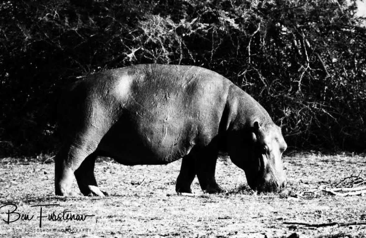 Grazing hippopotamus with battle scars, Vwaza Marsh National Park