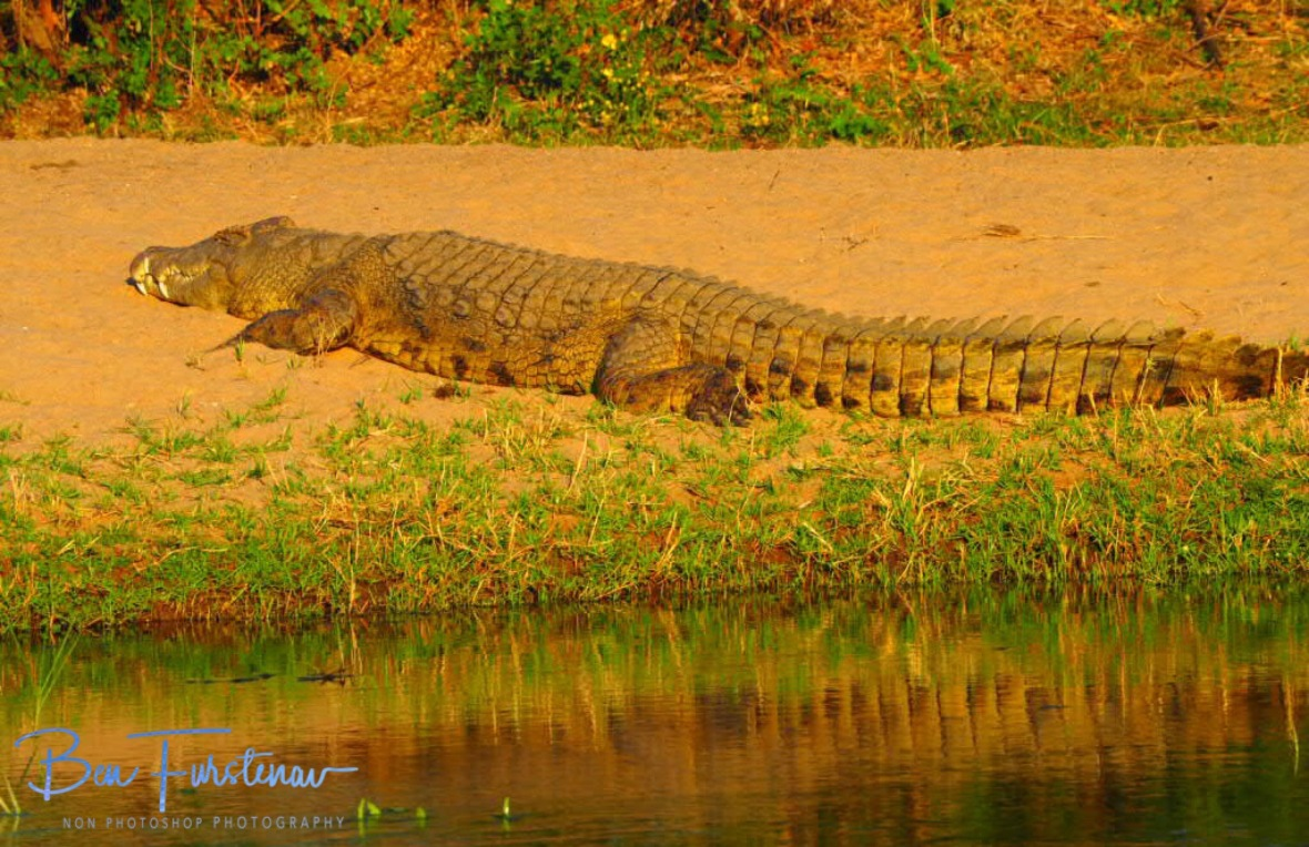 In a while, crocodile, Lower Zambezi National Park, Zambia