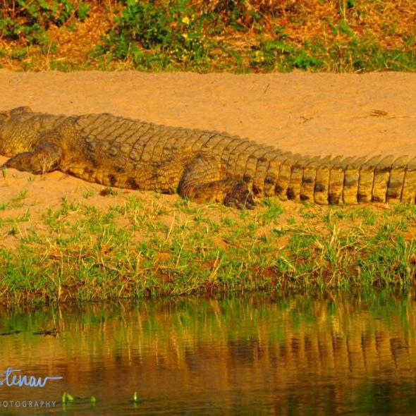 In a while, crocodile, Lower Zambezi National Park, Zambia