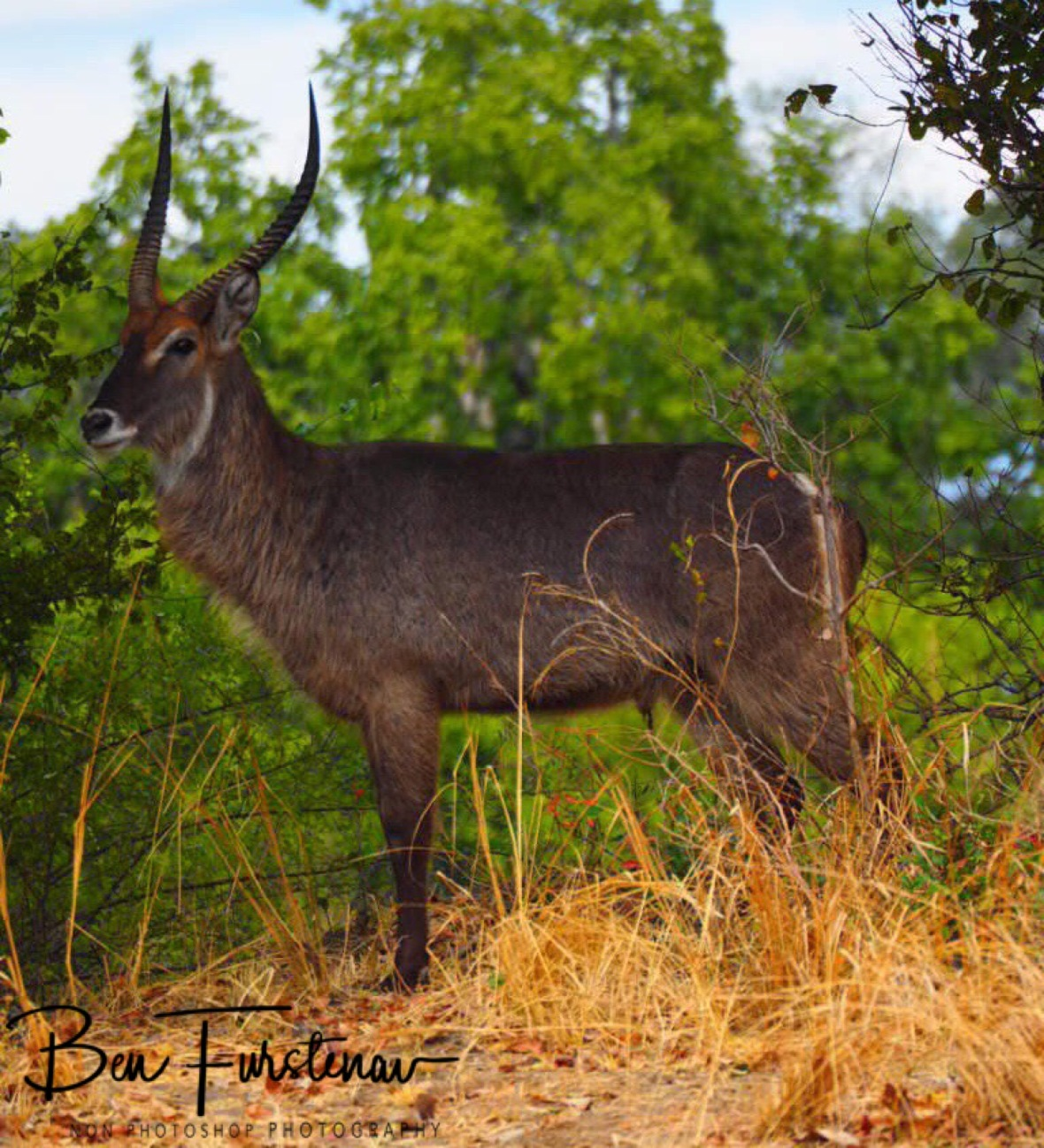 Waterbuck on the look out, South Luangwa National Park, Zambia