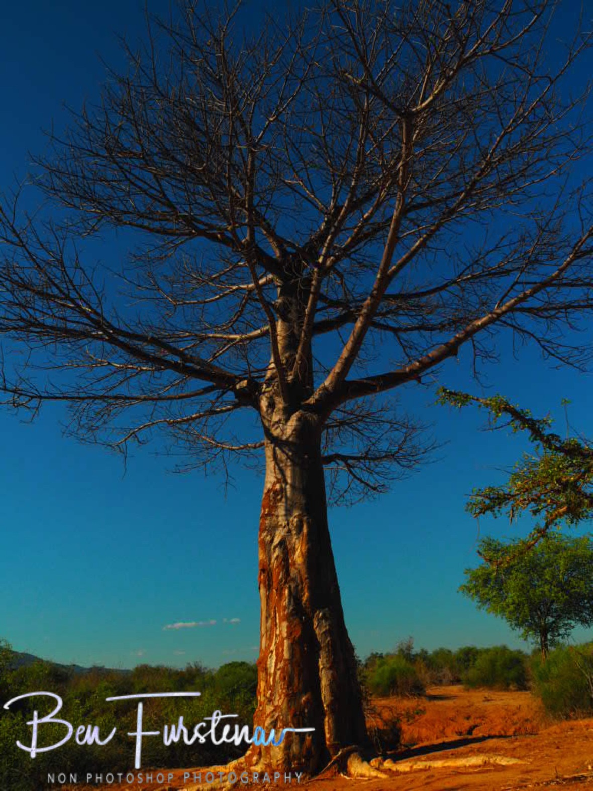 Baobab in red and blue, Lower Zambezi Valley, Zambia