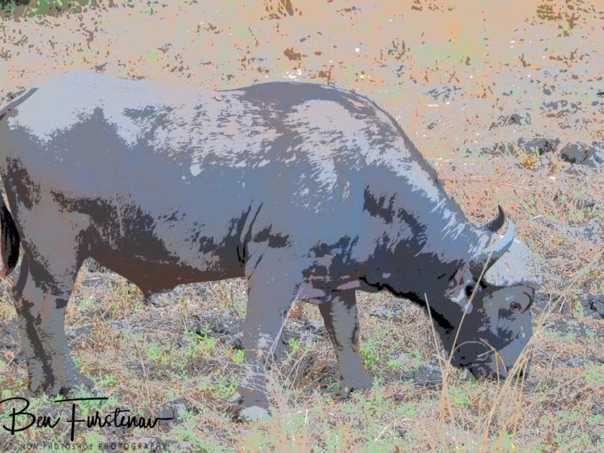Grazing buffalo in South Luangwa National Park, Zambia