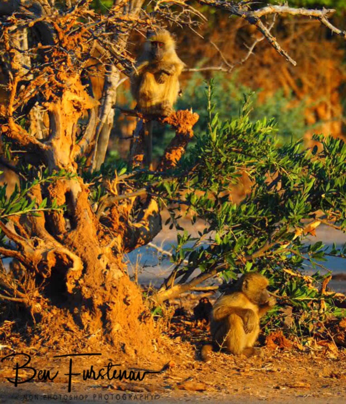 Always time for monkey business, Lower Zambezi National Park, Zambia