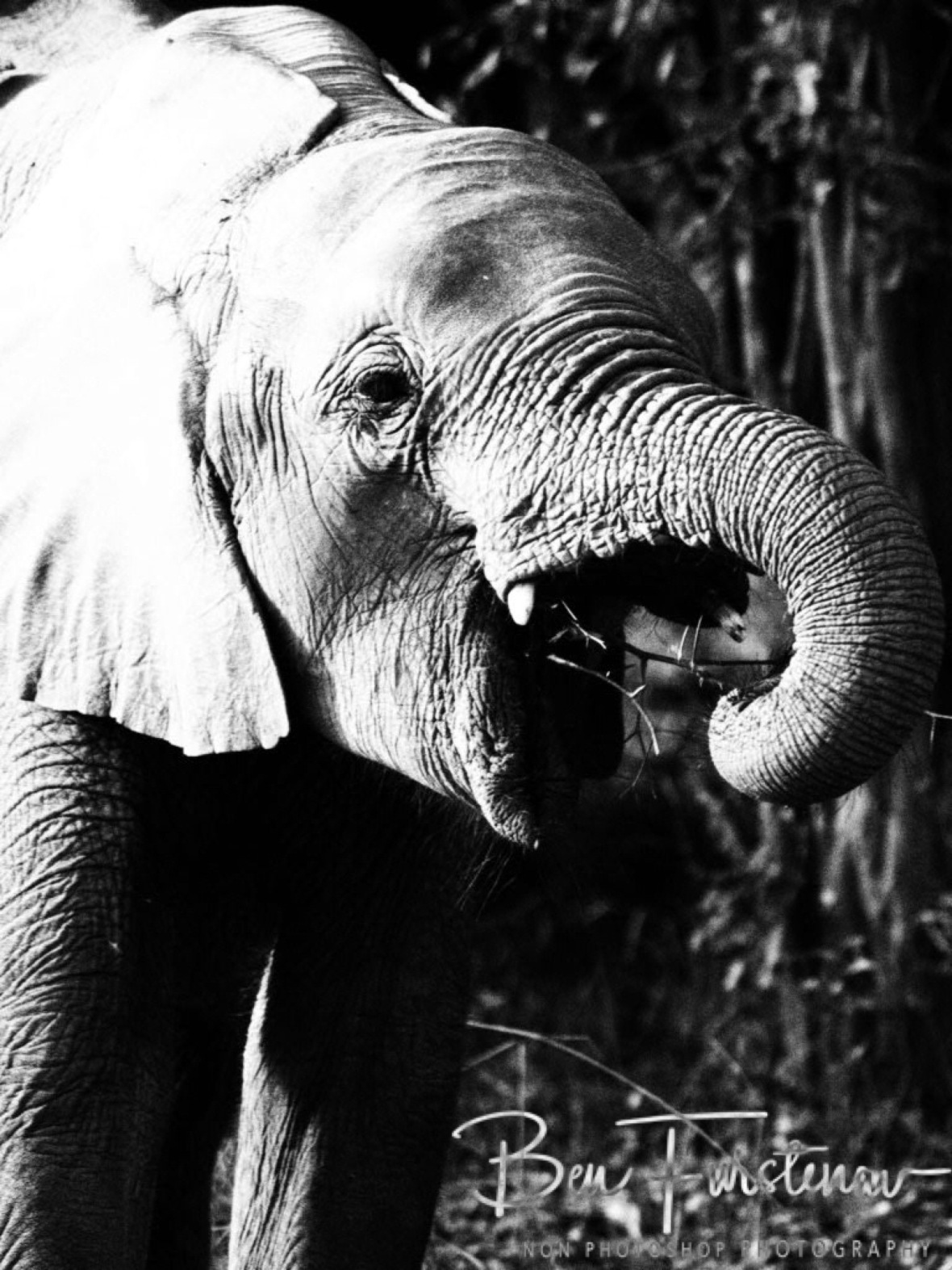 Trunk action by elephants, South Luangwa National Park, Zambia