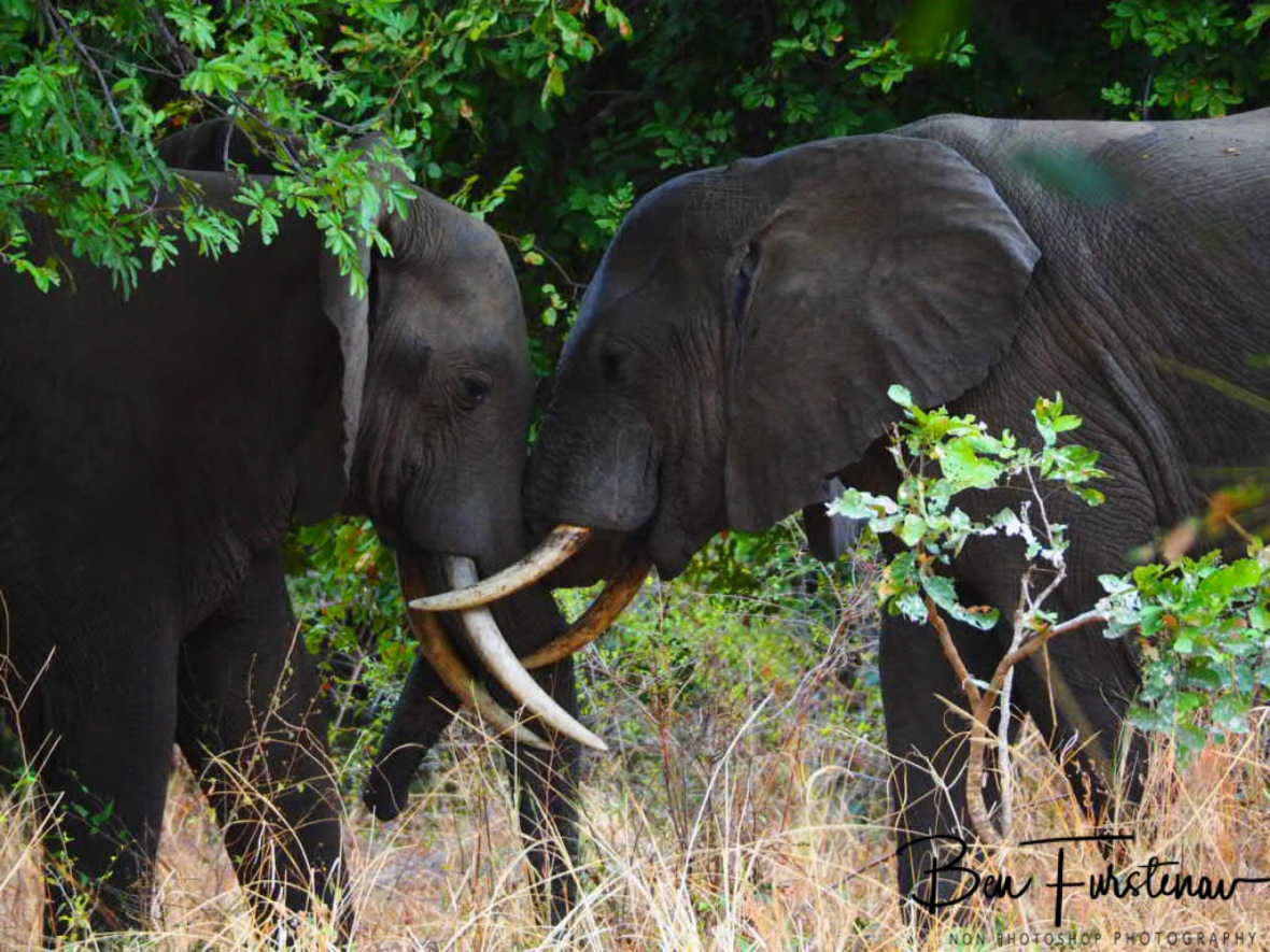 Push and shove in South Luangwa National Park, Zambia