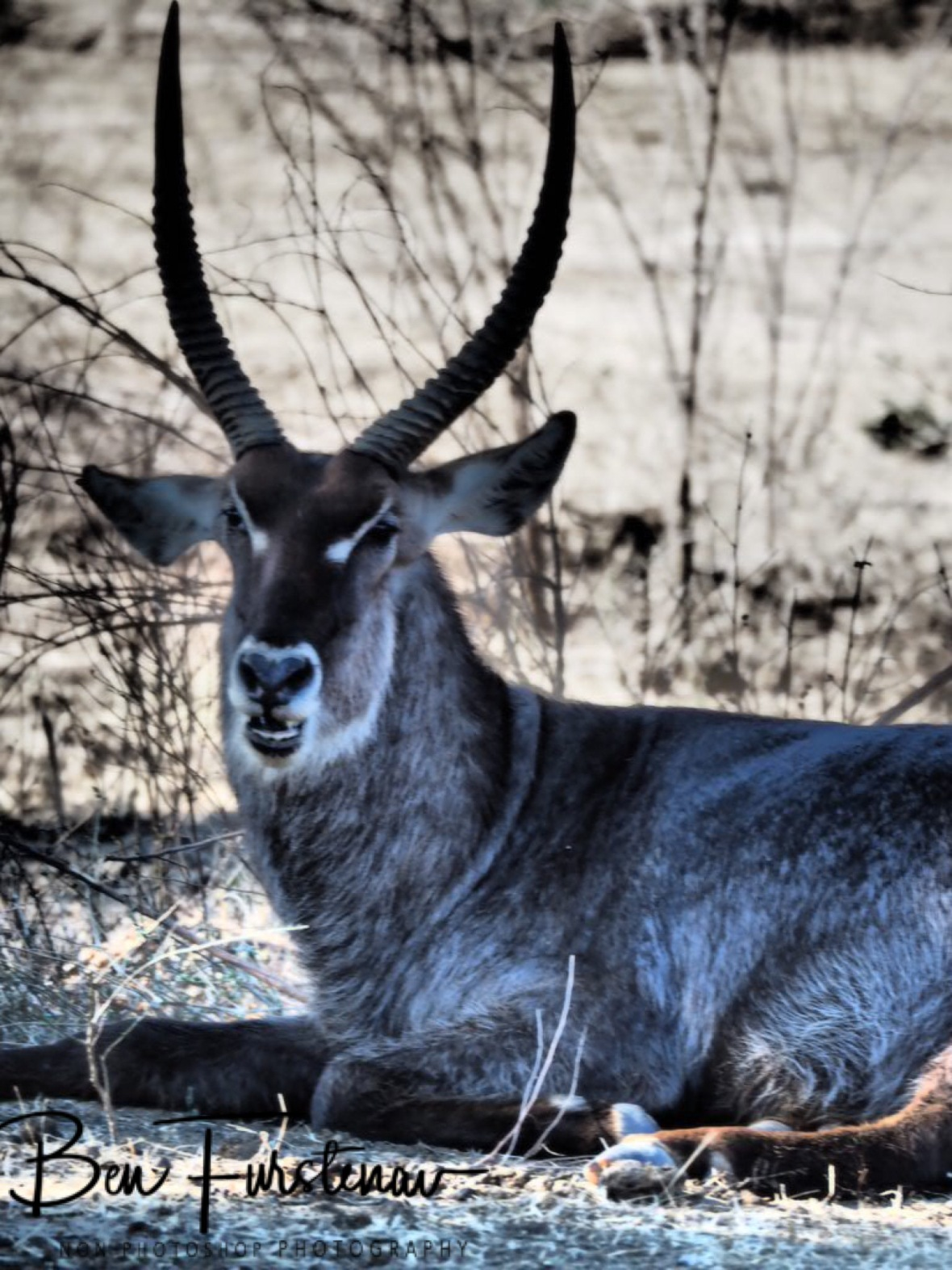 Waterbuck resting, Lower Zambezi Valley, Zambia