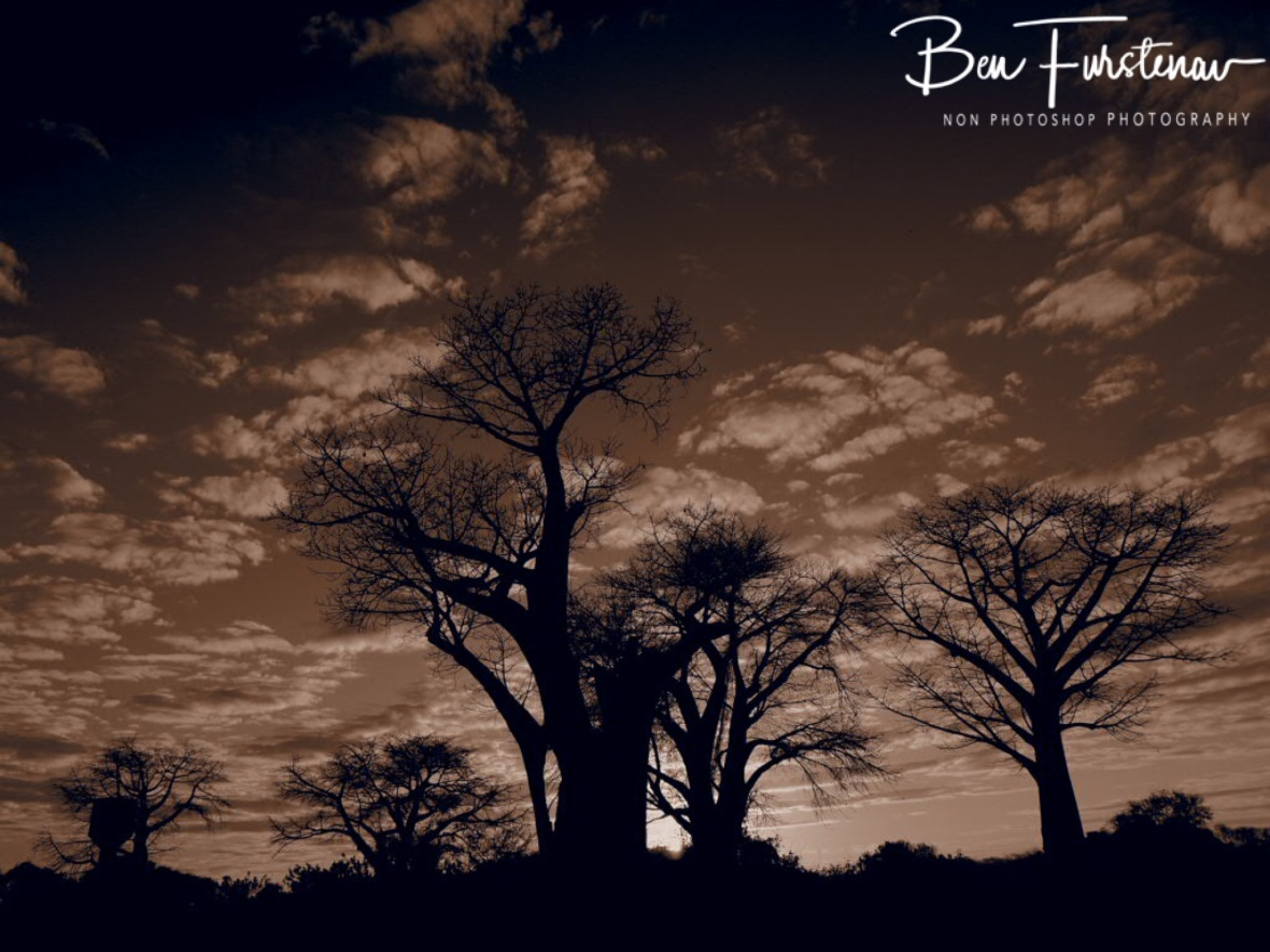 Baobab Forrest in sepia, Lower Zambezi Valley, Zambia