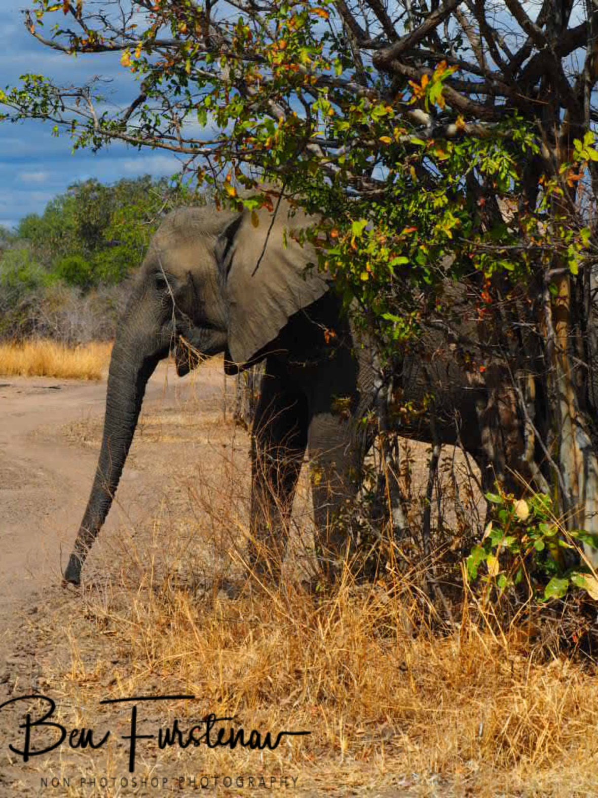Crossing the track coming out off nowhere in South Luangwa National Park, Zambia