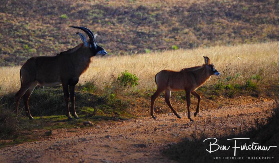 Roan crossing, Nyika National Park, Malawi