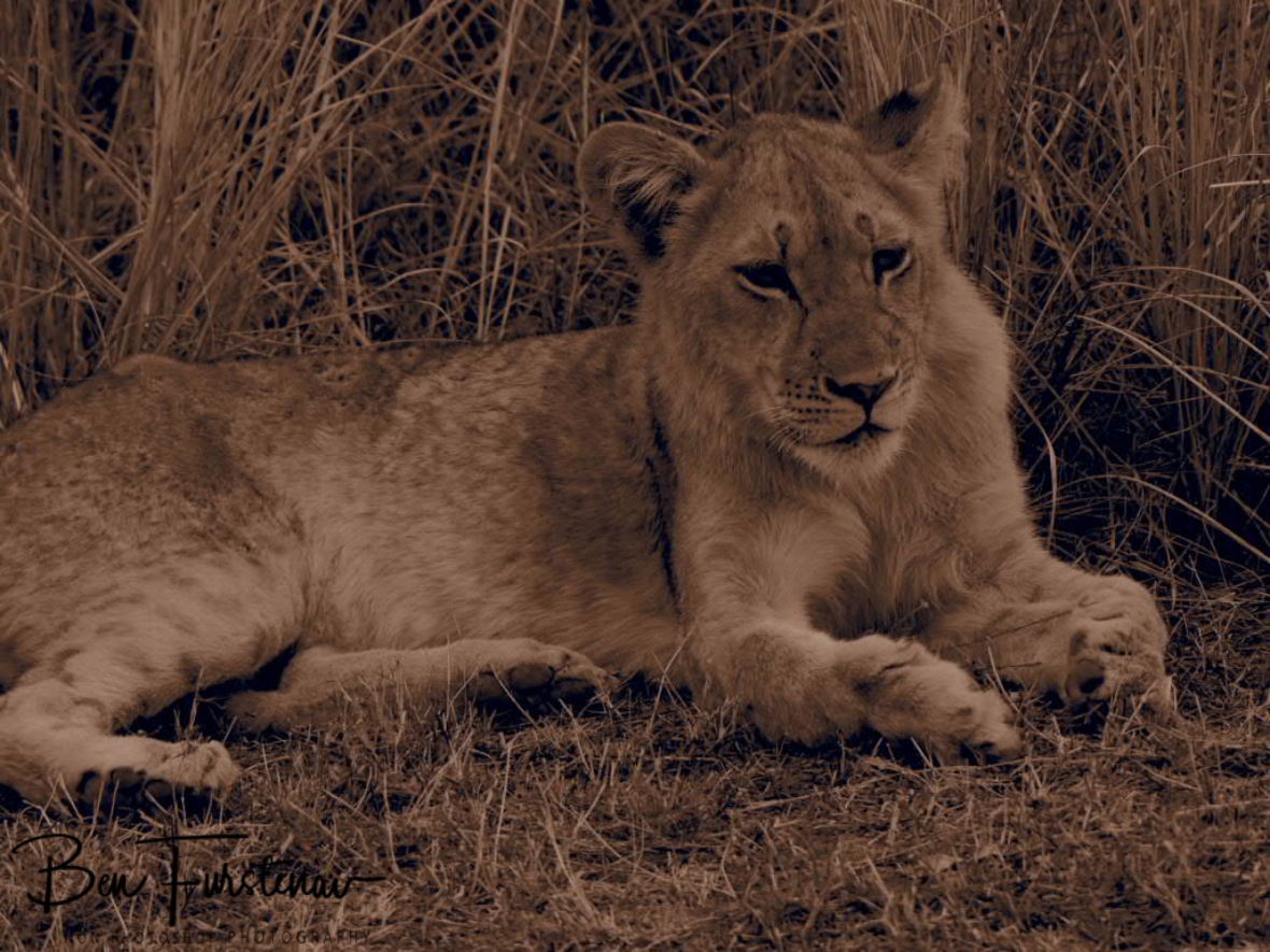 Cute cub in sepia, South Luangwa National Park, Zambia