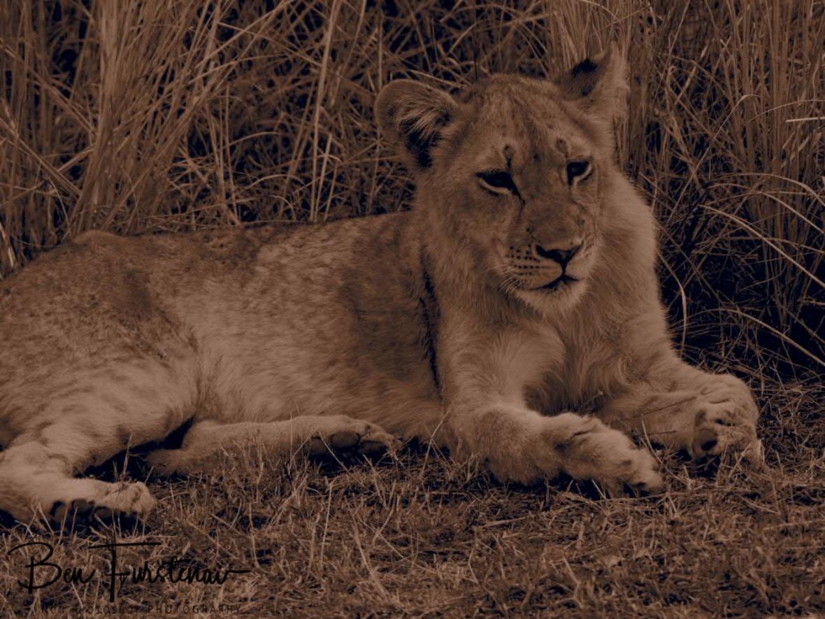 Cute cub in sepia, South Luangwa National Park, Zambia