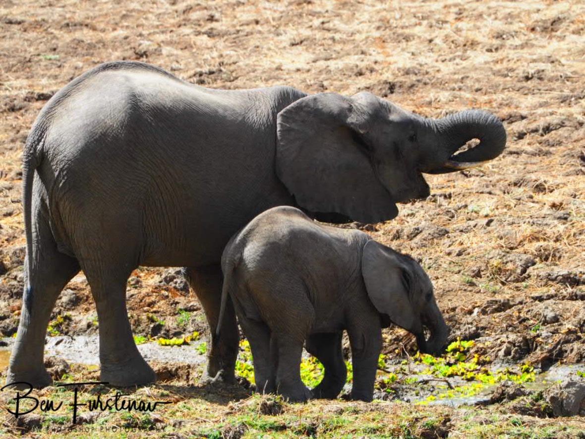 Elephant refills, South Luangwa National Park, Zambia