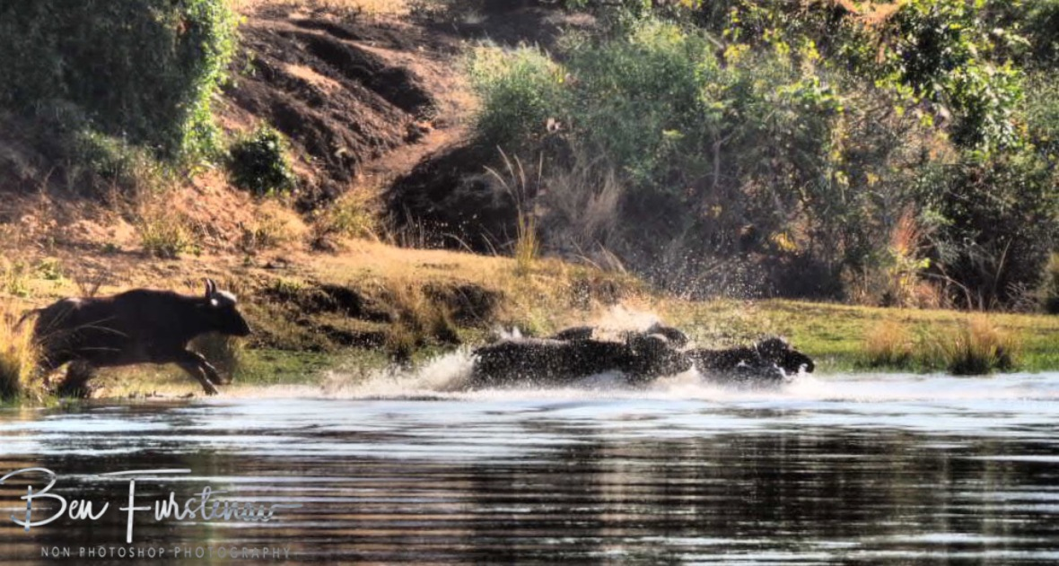 A dash in to the waters, Lower Zambezi National Park, Zambia