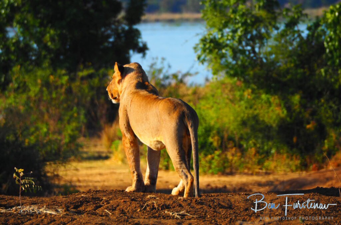 Lion on the lookout, Lower Zambezi National Park, Zambia