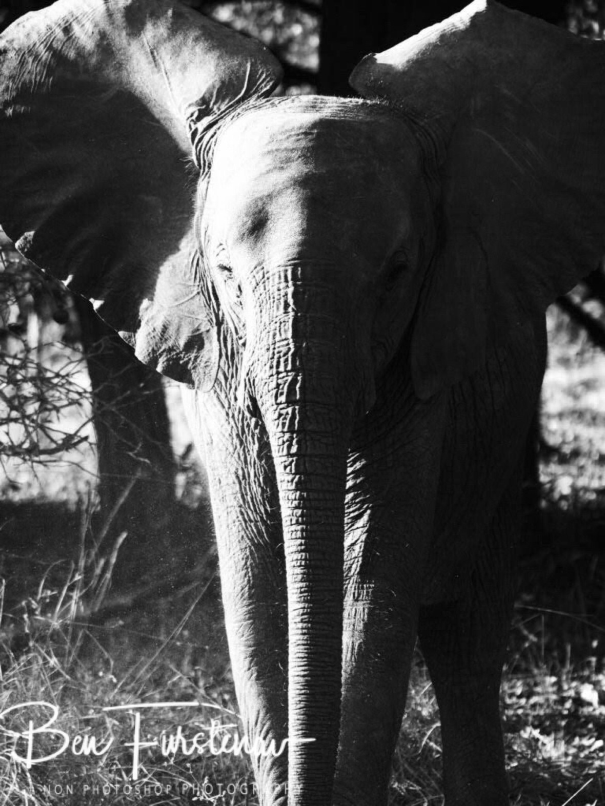 Imposing gestures by junior, South Luangwa National Park, Zambia