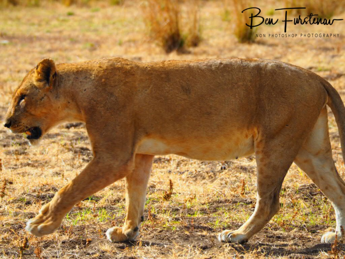 Battered and wounded, South Luangwa National Park, Zambia