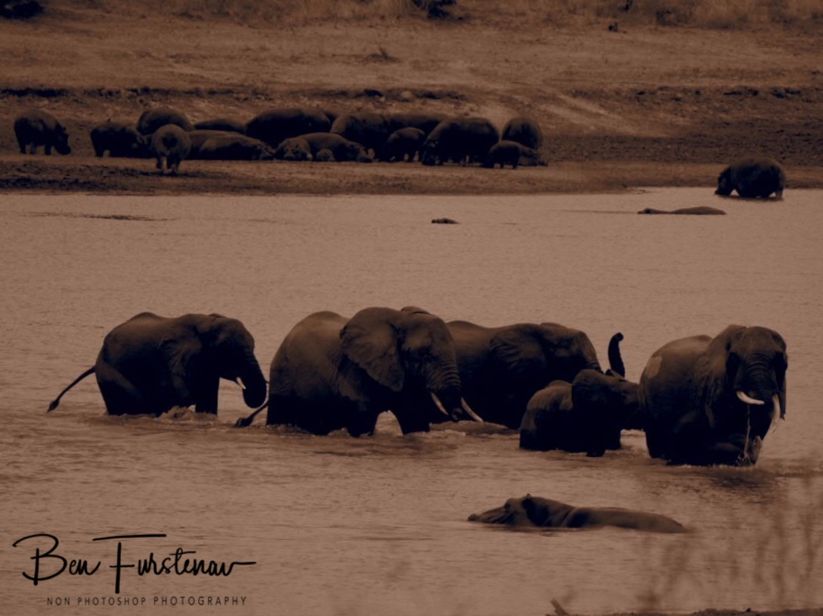 Elephants crossing through a Hippo colony, South Luangwa National Park, Zambia