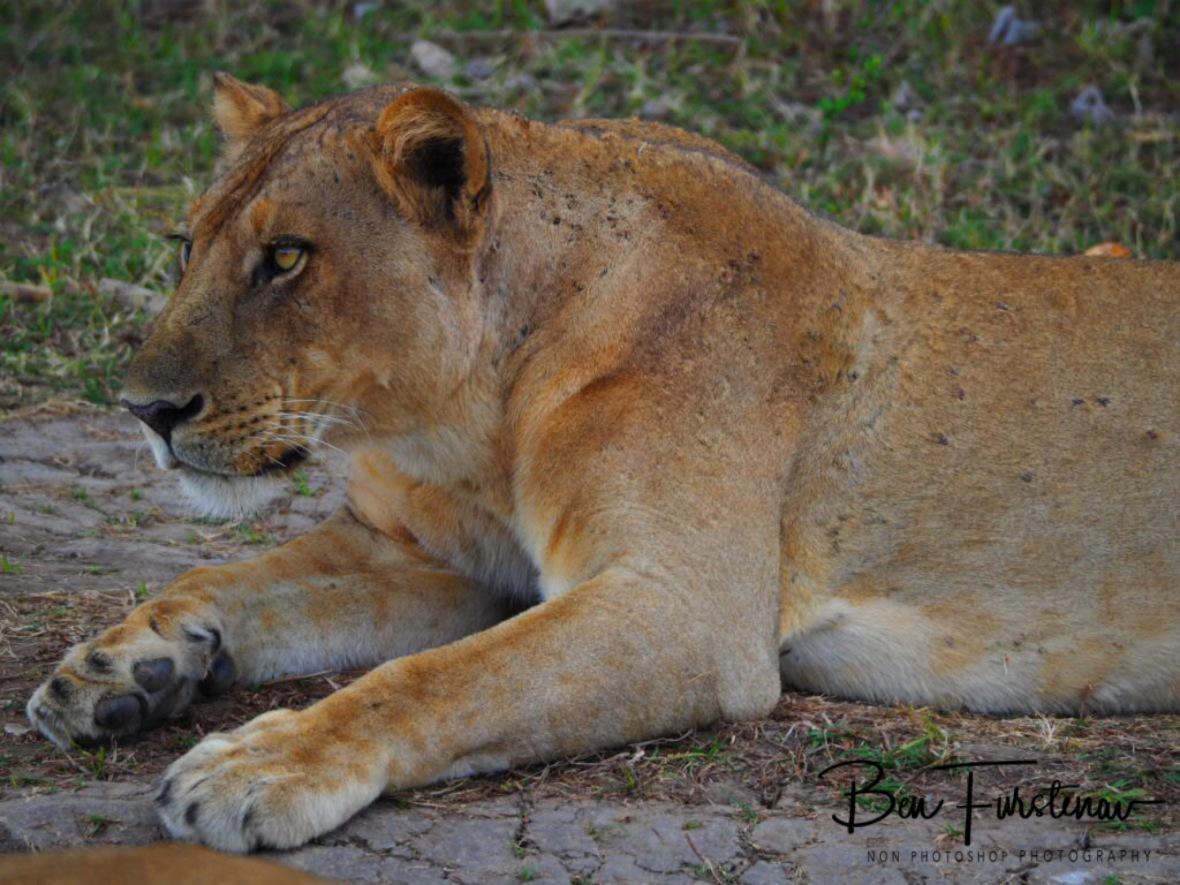 Keen eyes on Pumba, South Luangwa National Park, Zambia